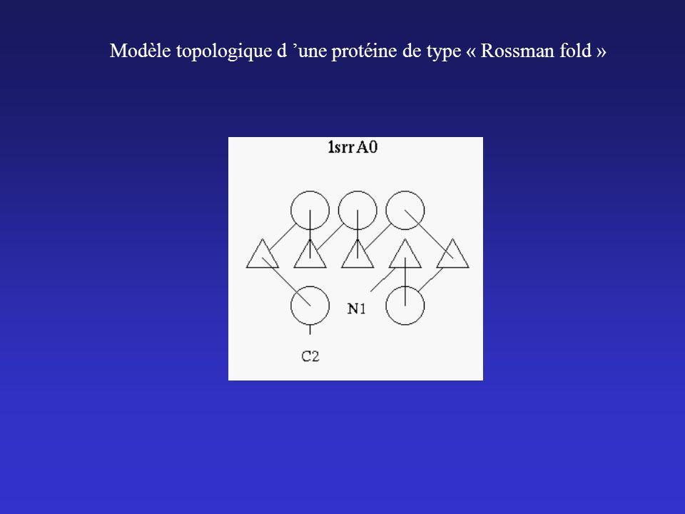 Modèle topologique d une protéine de type « Rossman fold »