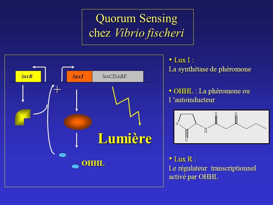 Quorum Sensing chez Vibrio fischeri Lux I : Lux I : La synthétase de phéromone OHHL : La phéromone ou l autoinducteur OHHL : La phéromone ou l autoinducteur Lux R : Lux R : Le régulateur transcriptionnel activé par OHHL luxR luxI luxCDABE OHHL + Lumière