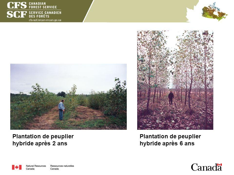 Plantation de peuplier hybride après 2 ans Plantation de peuplier hybride après 6 ans