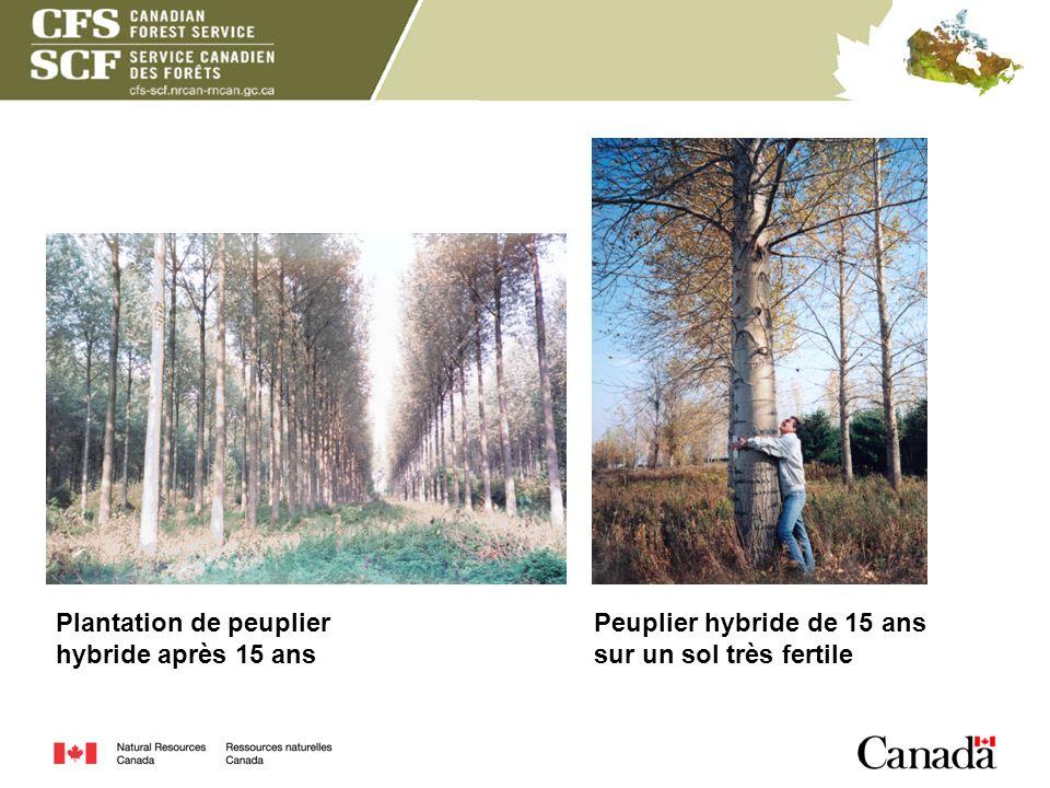 Plantation de peuplier hybride après 15 ans Peuplier hybride de 15 ans sur un sol très fertile