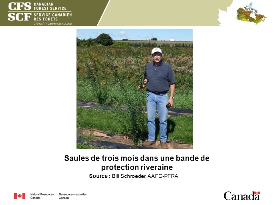 Saules de trois mois dans une bande de protection riveraine Source : Bill Schroeder, AAFC-PFRA