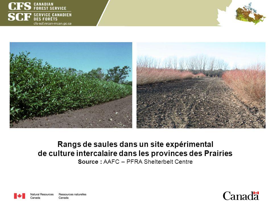 Rangs de saules dans un site expérimental de culture intercalaire dans les provinces des Prairies Source : AAFC – PFRA Shelterbelt Centre