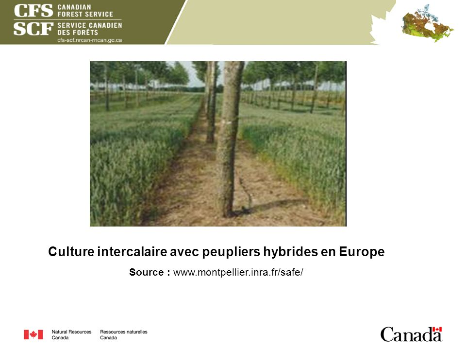 Culture intercalaire avec peupliers hybrides en Europe Source : www.montpellier.inra.fr/safe/