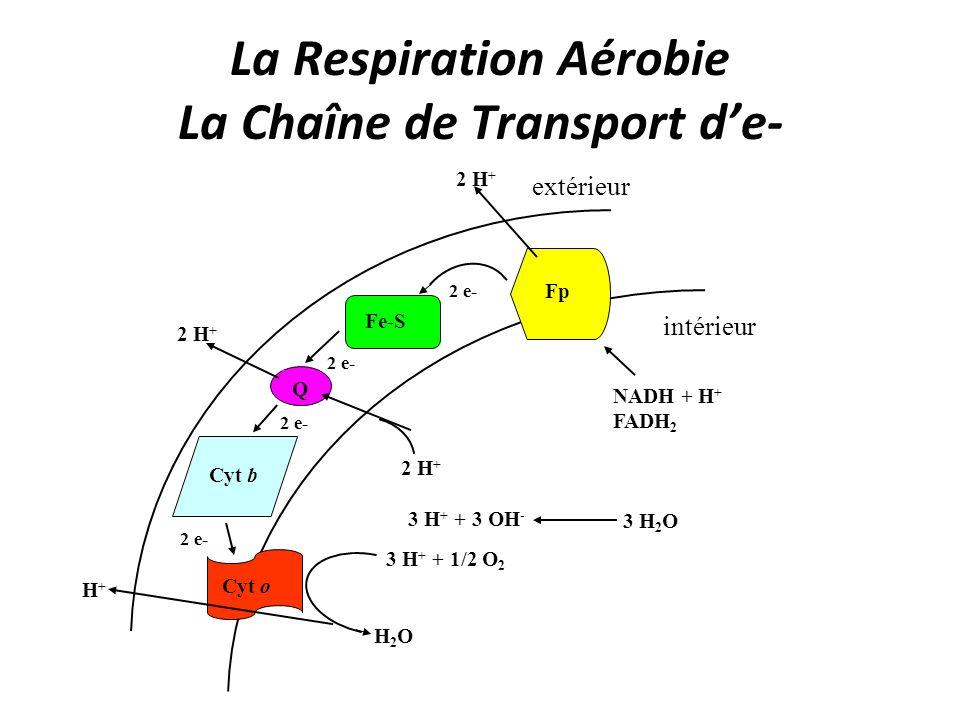 La Respiration Aérobie La Chaîne de Transport de- 3 H 2 O H+H+ 2 H + 3 H + + 3 OH - 2 H + H2OH2O 3 H + + 1/2 O 2 2 e- Fp Fe-S 2 e- Q Cyt b Cyt o NADH