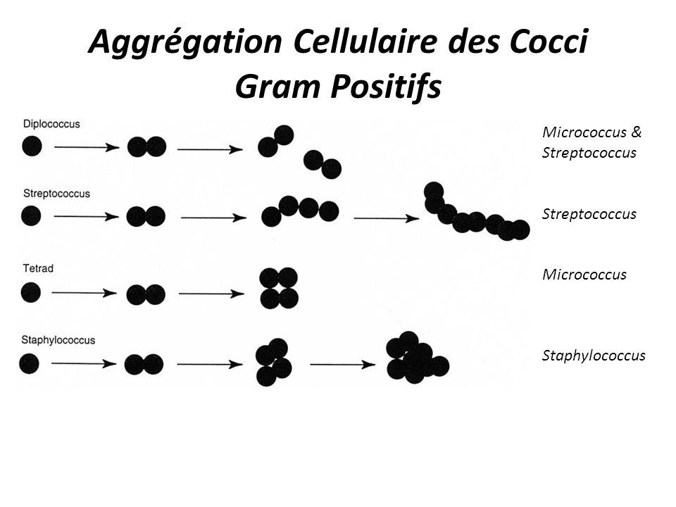 Aggrégation Cellulaire des Cocci Gram Positifs Micrococcus & Streptococcus Streptococcus Micrococcus Staphylococcus