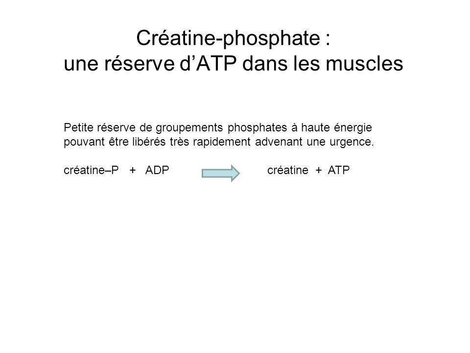 Créatine-phosphate : une réserve dATP dans les muscles Petite réserve de groupements phosphates à haute énergie pouvant être libérés très rapidement a