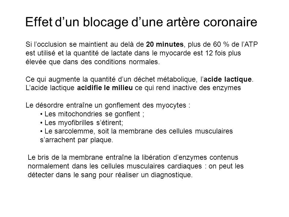 Effet dun blocage dune artère coronaire Si locclusion se maintient au delà de 20 minutes, plus de 60 % de lATP est utilisé et la quantité de lactate d