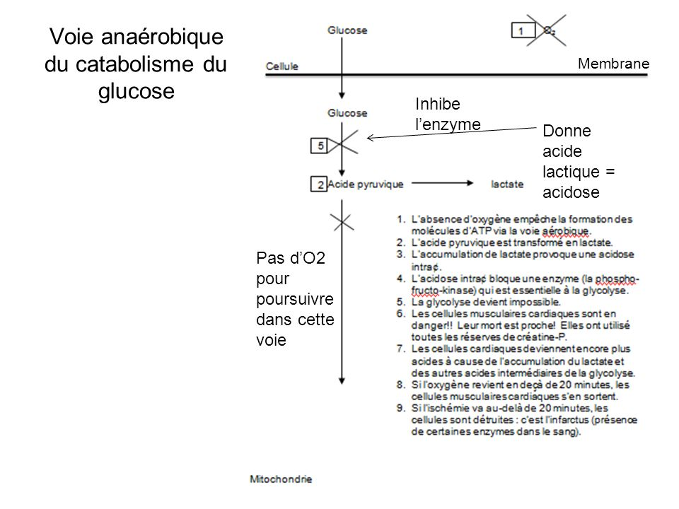 Voie anaérobique du catabolisme du glucose Pas dO2 pour poursuivre dans cette voie Donne acide lactique = acidose Inhibe lenzyme Membrane