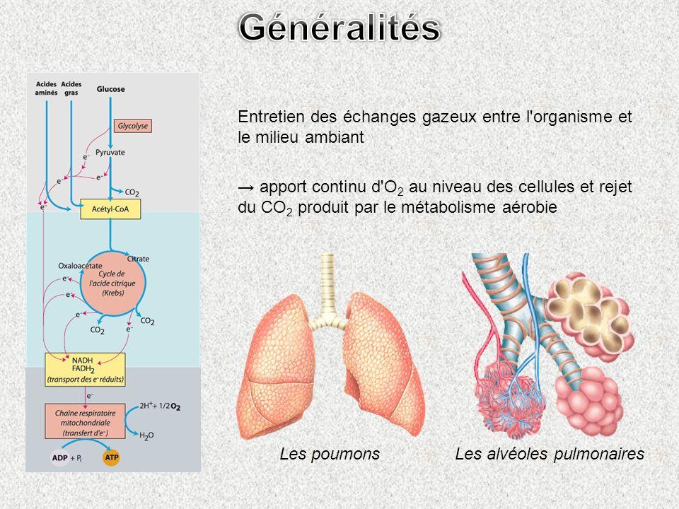 Entretien des échanges gazeux entre l'organisme et le milieu ambiant apport continu d'O 2 au niveau des cellules et rejet du CO 2 produit par le métab