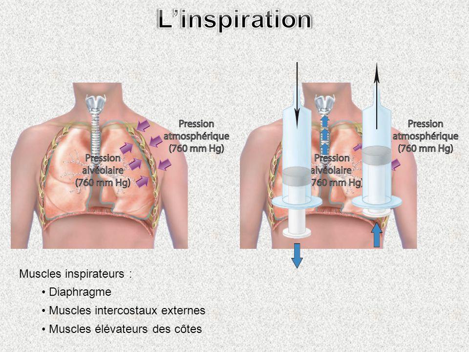 Muscles inspirateurs : Diaphragme Muscles intercostaux externes Muscles élévateurs des côtes