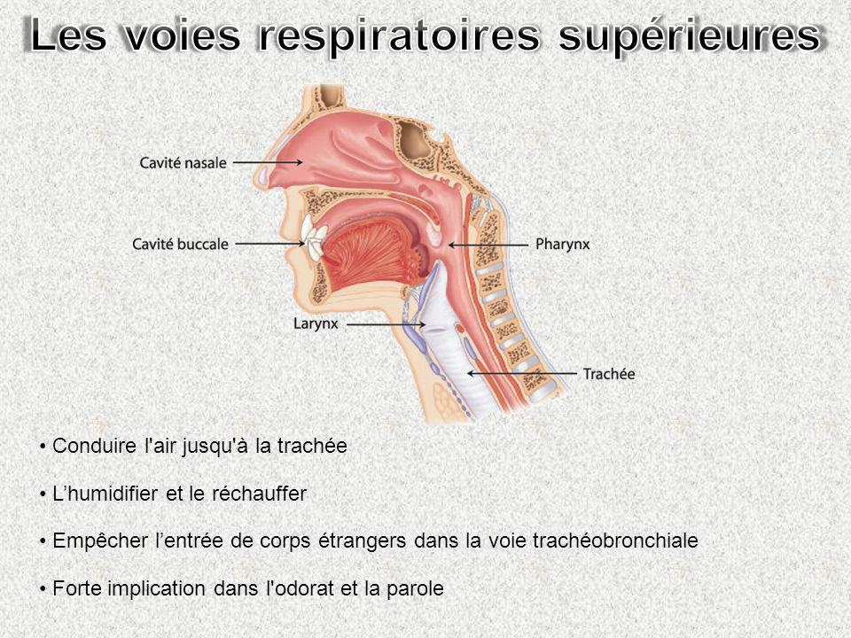 Filtrage (cils) Réchauffement (vaisseaux sanguins) Humidification (mucus)