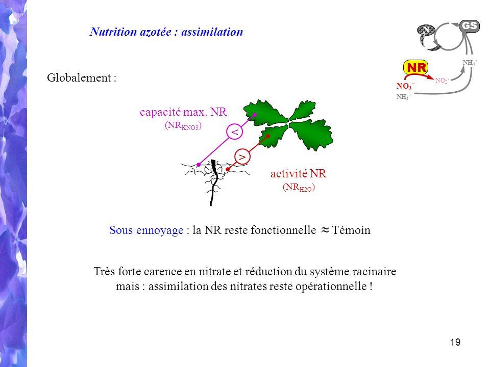 19 NO 2 - NR NO 3 - GS NH 4 + N Très forte carence en nitrate et réduction du système racinaire mais : assimilation des nitrates reste opérationnelle .