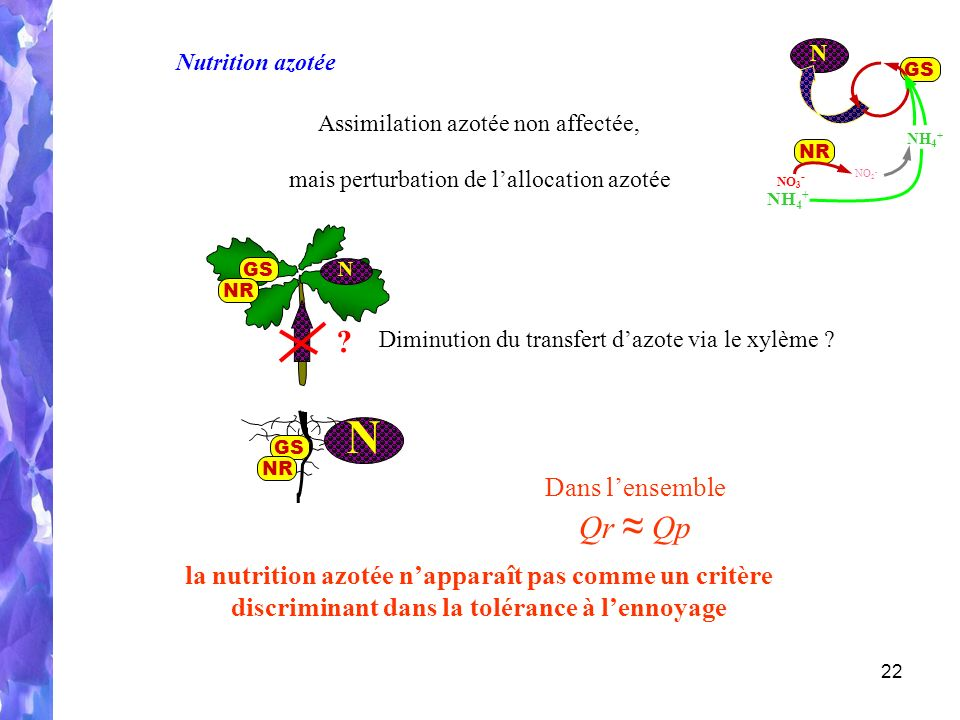 22 N GS NH 4 + NO 2 - NR NH 4 + NO 3 - Nutrition azotée Assimilation azotée non affectée, la nutrition azotée napparaît pas comme un critère discriminant dans la tolérance à lennoyage .