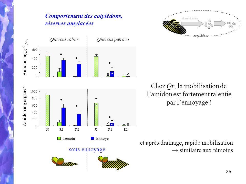 25 Amidon mg organe - 1 0 600 800 400 1000 200 R1R2R1R2J0 Amidon mg g - 1 (MS) 0 600 200 400 Quercus roburQuercus petraea TémoinEnnoyé et après drainage, rapide mobilisation similaire aux témoins Chez Qr, la mobilisation de lamidon est fortement ralentie par lennoyage .