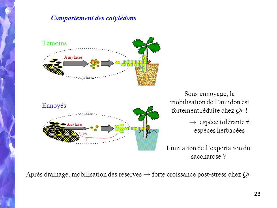 28 Amylases cotylédons Amylases cotylédons Témoins Ennoyés Après drainage, mobilisation des réserves forte croissance post-stress chez Qr Comportement des cotylédons Sous ennoyage, la mobilisation de lamidon est fortement réduite chez Qr .