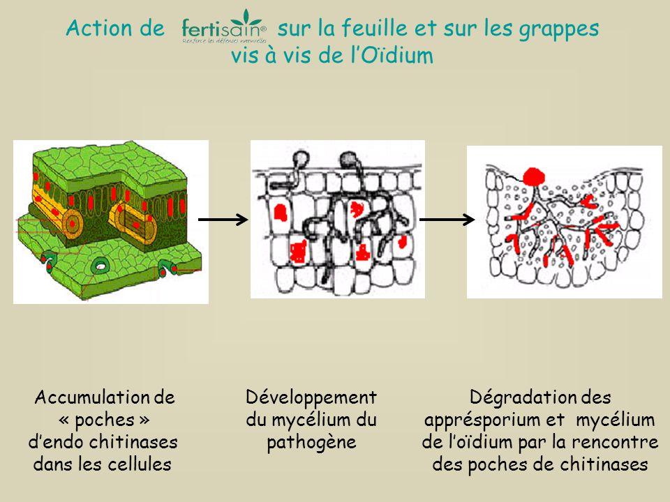 Développement du mycélium du pathogène Dégradation des apprésporium et mycélium de loïdium par la rencontre des poches de chitinases Action de sur la