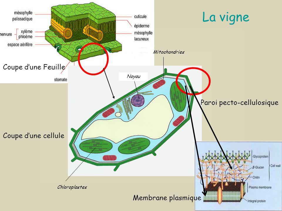 La vigne Paroi pecto-cellulosique Chloroplastes Mitochondries Noyau Coupe dune Feuille Coupe dune cellule Membrane plasmique