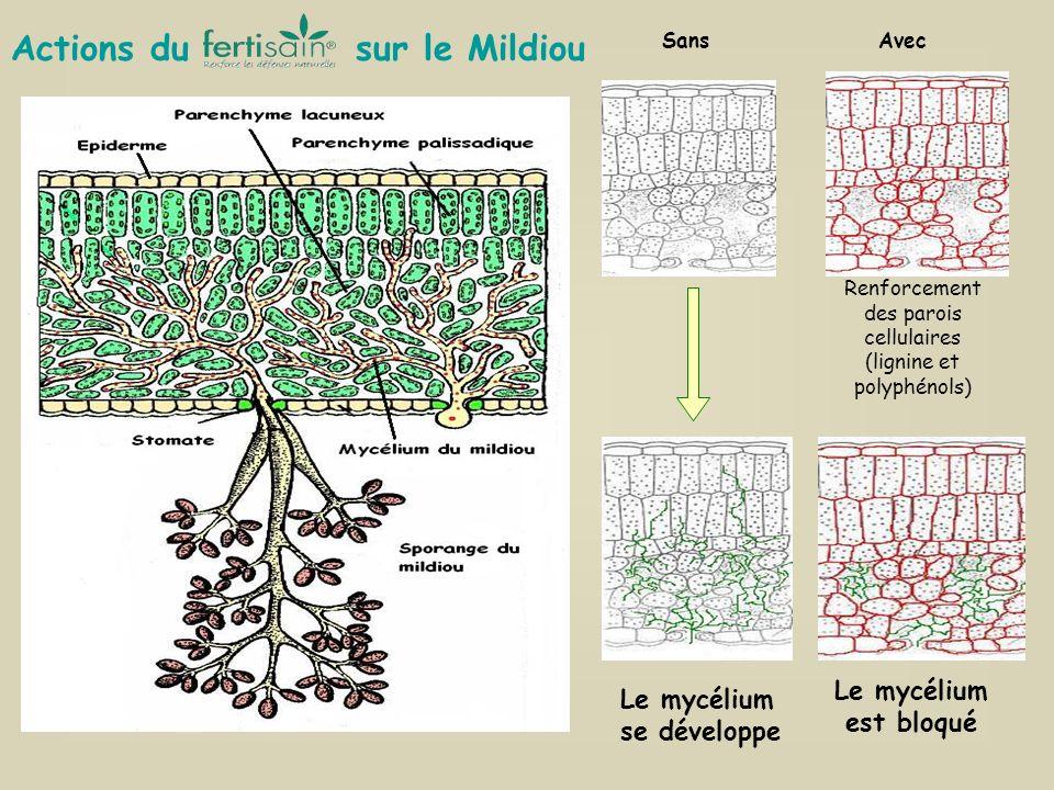 SansAvec Renforcement des parois cellulaires (lignine et polyphénols) Le mycélium est bloqué Le mycélium se développe Actions du sur le Mildiou