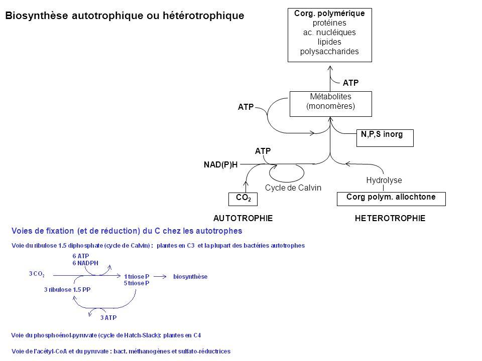 Biosynthèse autotrophique ou hétérotrophique Corg. polymérique protéines ac. nucléiques lipides polysaccharides Métabolites (monomères) ATP NAD(P)H CO