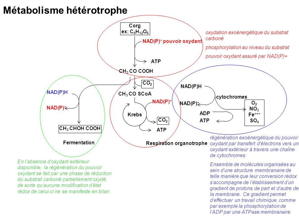 Corg ex: C 6 H 12 O 6 CH 3 CO COOH ATP NAD(P) + pouvoir oxydant CH 3 CO SCoA CO 2 CH 3 CHOH COOH CO 2 NAD(P) + NAD(P)H NAD(P) + NAD(P)H NAD(P) + Ferme