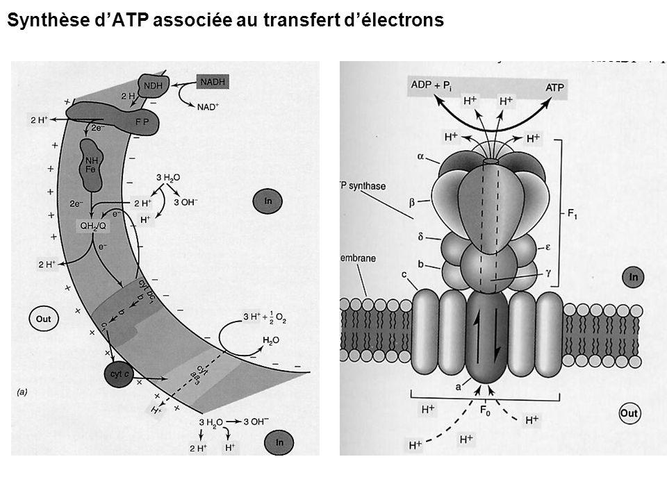 3 CO 2 3 ribulose 1.5 PP 6 ATP 6 NADPH 1 triose P 5 triose P biosynthèse 3 ATP Voie du ribulose 1.5 diphosphate (cycle de Calvin) : plantes en C3 et la plupart des bactéries autotrophes Voie du phosphoénol-pyruvate (cycle de Hatch-Slack): plantes en C4 Voie de lacétyl-CoA et du pyruvate : bact.
