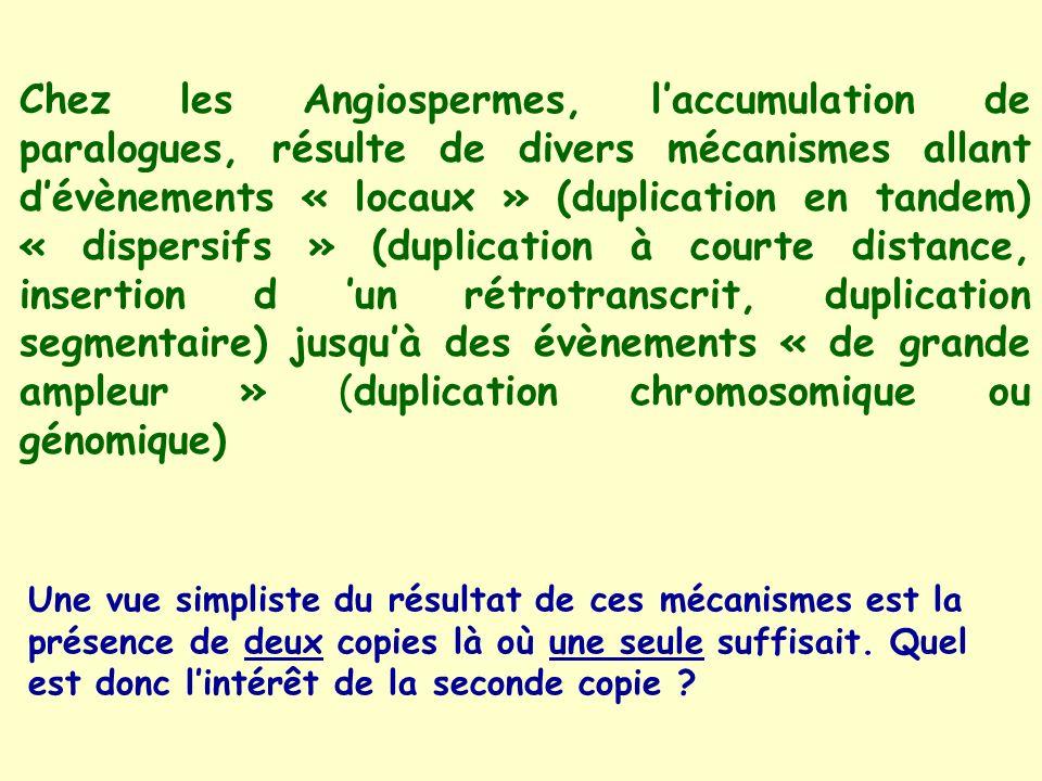 Chez les Angiospermes, laccumulation de paralogues, résulte de divers mécanismes allant dévènements « locaux » (duplication en tandem) « dispersifs » (duplication à courte distance, insertion d un rétrotranscrit, duplication segmentaire) jusquà des évènements « de grande ampleur » (duplication chromosomique ou génomique) Une vue simpliste du résultat de ces mécanismes est la présence de deux copies là où une seule suffisait.