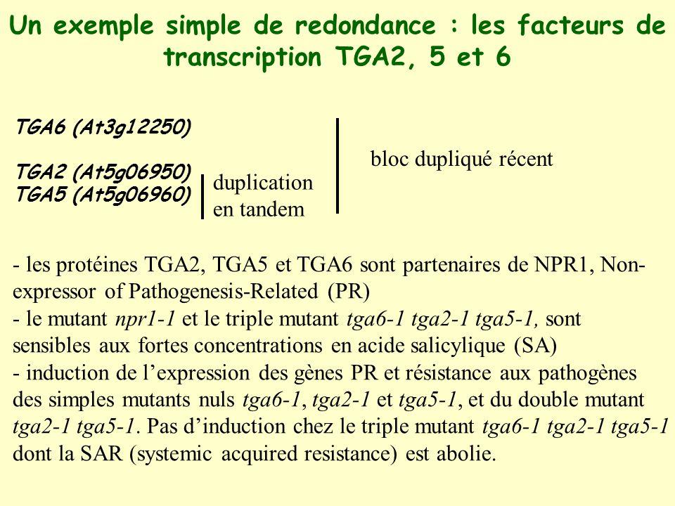 Un exemple simple de redondance : les facteurs de transcription TGA2, 5 et 6 TGA6 (At3g12250) TGA2 (At5g06950) TGA5 (At5g06960) duplication en tandem bloc dupliqué récent - les protéines TGA2, TGA5 et TGA6 sont partenaires de NPR1, Non- expressor of Pathogenesis-Related (PR) - le mutant npr1-1 et le triple mutant tga6-1 tga2-1 tga5-1, sont sensibles aux fortes concentrations en acide salicylique (SA) - induction de lexpression des gènes PR et résistance aux pathogènes des simples mutants nuls tga6-1, tga2-1 et tga5-1, et du double mutant tga2-1 tga5-1.