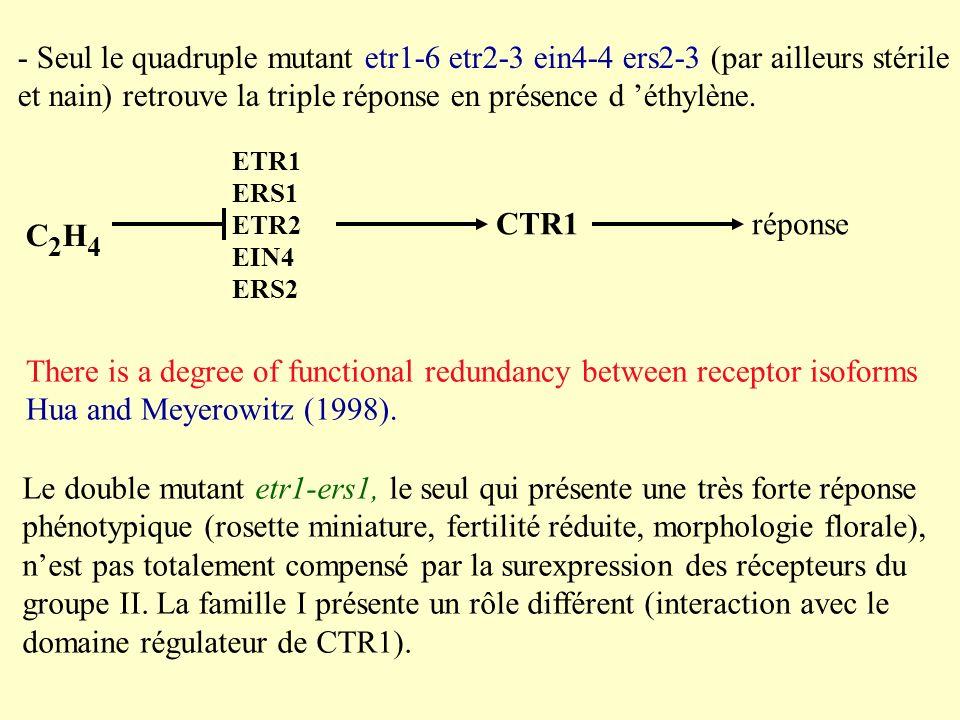 - Seul le quadruple mutant etr1-6 etr2-3 ein4-4 ers2-3 (par ailleurs stérile et nain) retrouve la triple réponse en présence d éthylène.