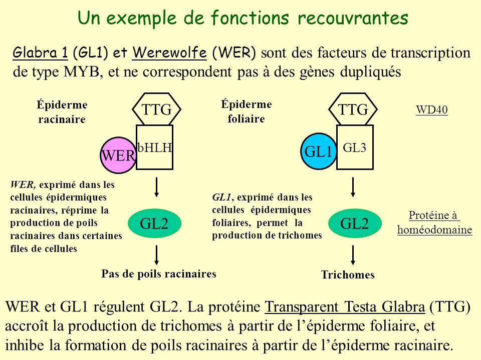 Un exemple de fonctions recouvrantes Glabra 1 (GL1) et Werewolfe (WER) sont des facteurs de transcription de type MYB, et ne correspondent pas à des gènes dupliqués bHLHGL3 GL2 WER GL1 GL2 Pas de poils racinaires Trichomes TTG WD40 Protéine à homéodomaine WER et GL1 régulent GL2.