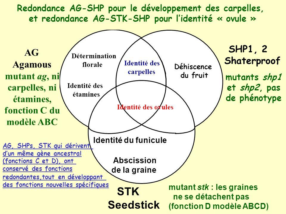 AG Agamous SHP1, 2 Shaterproof STK Seedstick Détermination florale Identité des étamines Identité des ovules Identité des carpelles Déhiscence du fruit Identité du funicule Abscission de la graine mutants shp1 et shp2, pas de phénotype mutant ag, ni carpelles, ni étamines, fonction C du modèle ABC mutant stk : les graines ne se détachent pas (fonction D modèle ABCD) Redondance AG-SHP pour le développement des carpelles, et redondance AG-STK-SHP pour lidentité « ovule » AG, SHPs, STK qui dérivent dun même gène ancestral (fonctions C et D), ont conservé des fonctions redondantes,tout en développant des fonctions nouvelles spécifiques