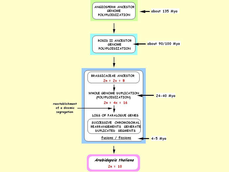 Les origines dArabidopsis 1) Une duplication très ancienne (origine des Angiospermes), une ancienne (100 millions dannées) survenue dans lancêtre des Eudicotylédones 2) Une duplication « récente » (24-40 M dannées) du génome dune Brassicaceae ancestrale : - passage de 2n = 2x = 8 à 2n = 4x = 16 chromosomes - perte de 70 % des gènes dupliqués 3) Remaniements chromosomiques (une soixantaine) 4) Fusions centriques (il y a 5 M dannées) réduisant le nombre de chromosomes de n = 8 à n = 5 5) Quelques duplications segmentaires (rDNA, bloc RAQ)