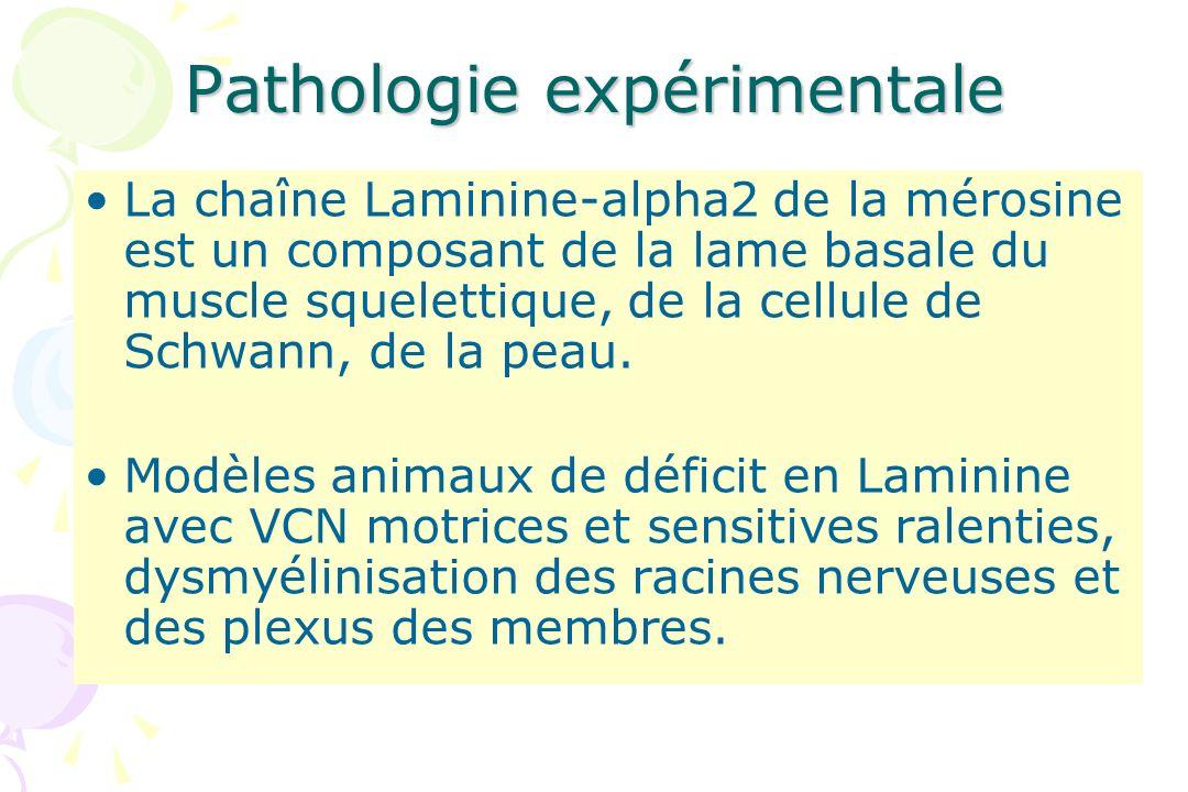 Pathologie expérimentale La chaîne Laminine-alpha2 de la mérosine est un composant de la lame basale du muscle squelettique, de la cellule de Schwann,