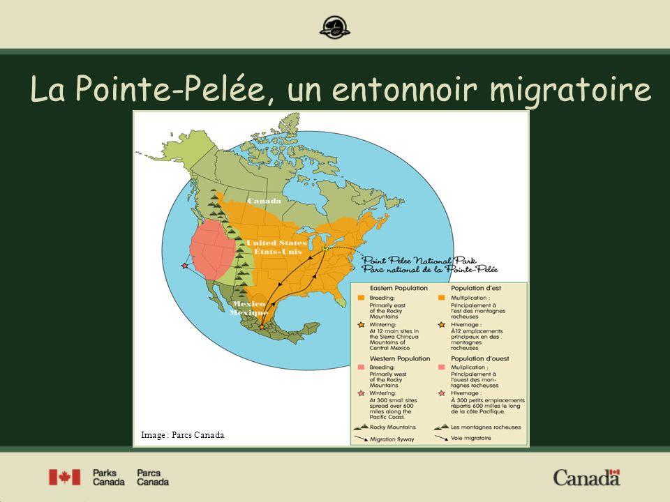 En raison de sa configuration particulière, le parc national de la Pointe- Pelée, longue péninsule qui fait saillie dans le lac Érié, constitue une halte de choix pour de nombreuses espèces migratrices dinsectes, doiseaux et de chauves- souris.