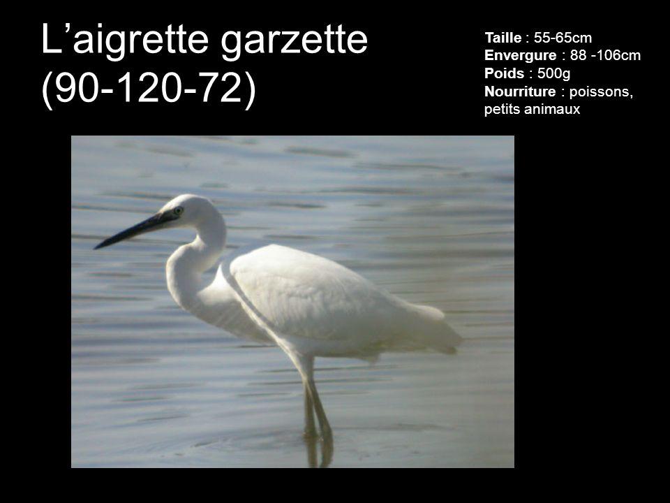 Laigrette garzette (90-120-72) Taille : 55-65cm Envergure : 88 -106cm Poids : 500g Nourriture : poissons, petits animaux