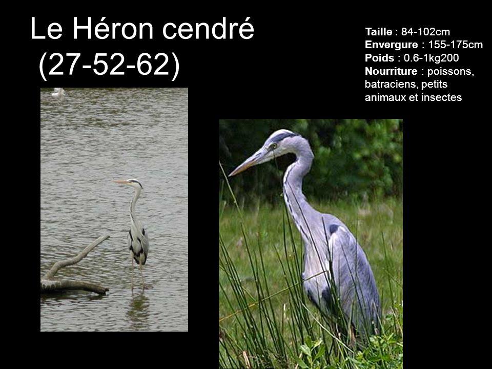 Le Héron cendré (27-52-62) Taille : 84-102cm Envergure : 155-175cm Poids : 0.6-1kg200 Nourriture : poissons, batraciens, petits animaux et insectes