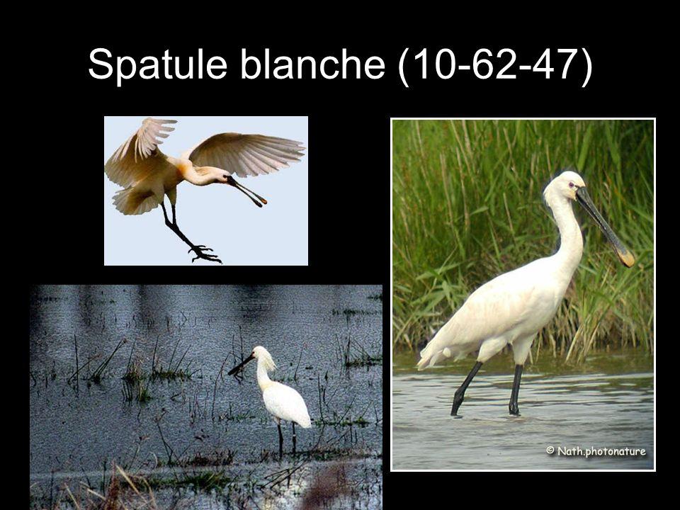 Spatule blanche (10-62-47)