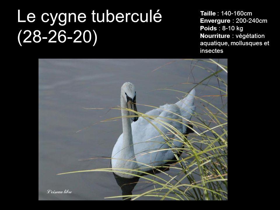 Le cygne tuberculé (28-26-20) Taille : 140-160cm Envergure : 200-240cm Poids : 8-10 kg Nourriture : végétation aquatique, mollusques et insectes
