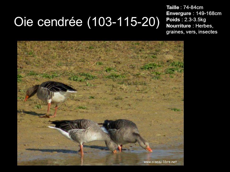 Oie cendrée (103-115-20) Taille : 74-84cm Envergure : 149-168cm Poids : 2.3-3.5kg Nourriture : Herbes, graines, vers, insectes