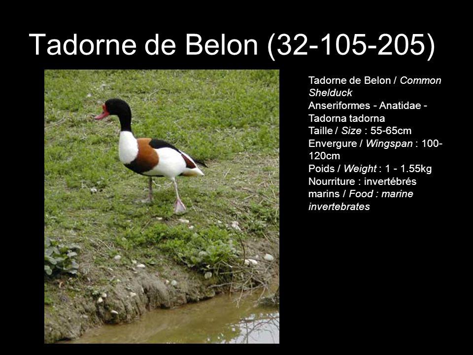 Tadorne de Belon (32-105-205) Tadorne de Belon / Common Shelduck Anseriformes - Anatidae - Tadorna tadorna Taille / Size : 55-65cm Envergure / Wingspa