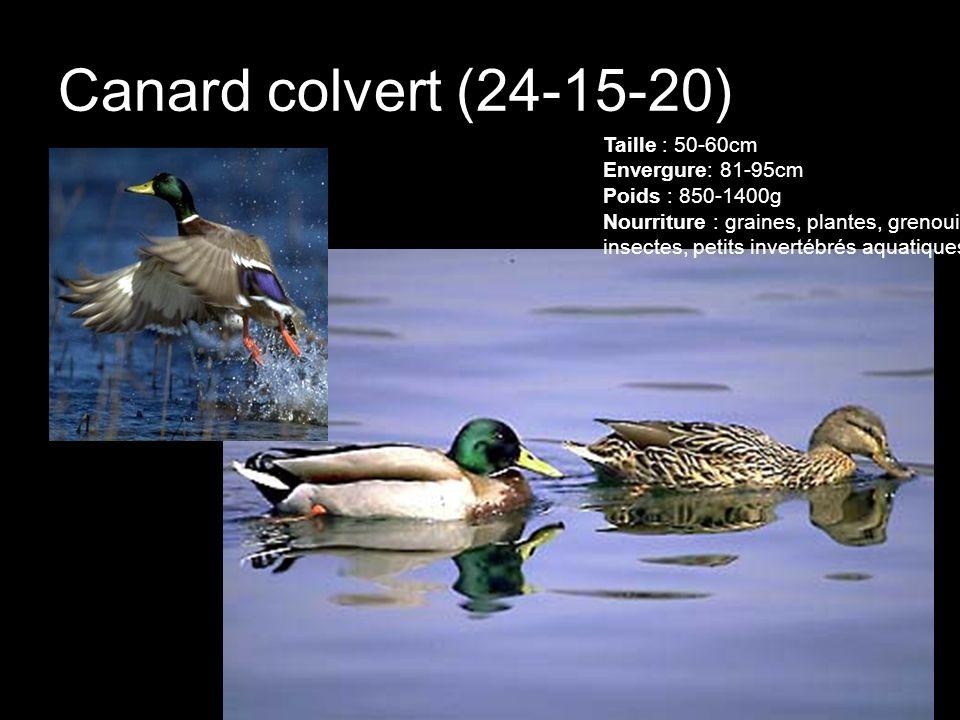 Canard colvert (24-15-20) Taille : 50-60cm Envergure: 81-95cm Poids : 850-1400g Nourriture : graines, plantes, grenouille, insectes, petits invertébré