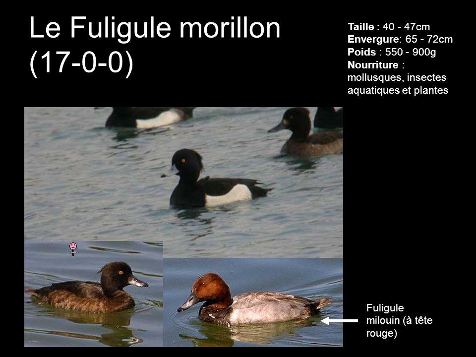 Le Fuligule morillon (17-0-0) Taille : 40 - 47cm Envergure: 65 - 72cm Poids : 550 - 900g Nourriture : mollusques, insectes aquatiques et plantes Fulig