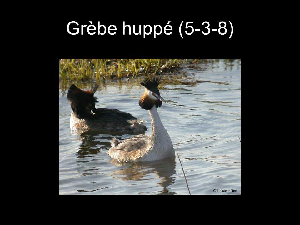 Grèbe huppé (5-3-8)
