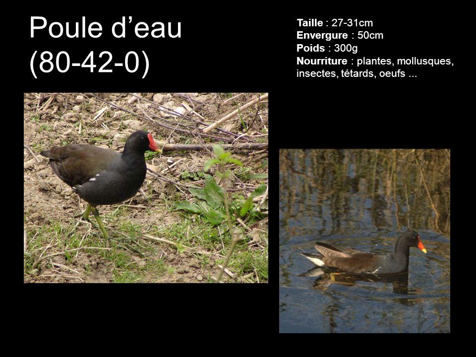 Poule deau (80-42-0) Taille : 27-31cm Envergure : 50cm Poids : 300g Nourriture : plantes, mollusques, insectes, tétards, oeufs...