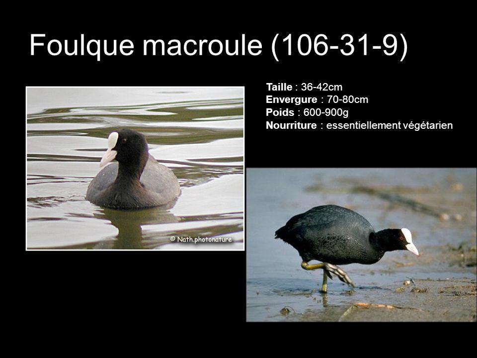 Foulque macroule (106-31-9) Taille : 36-42cm Envergure : 70-80cm Poids : 600-900g Nourriture : essentiellement végétarien