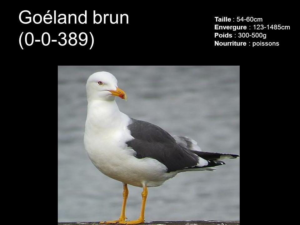 Goéland brun (0-0-389) Taille : 54-60cm Envergure : 123-1485cm Poids : 300-500g Nourriture : poissons