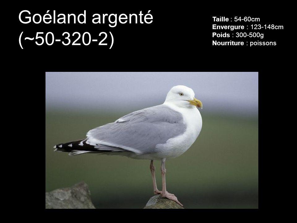 Goéland argenté (~50-320-2) Taille : 54-60cm Envergure : 123-148cm Poids : 300-500g Nourriture : poissons