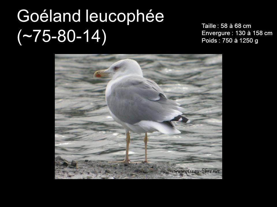 Goéland leucophée (~75-80-14) Taille : 58 à 68 cm Envergure : 130 à 158 cm Poids : 750 à 1250 g