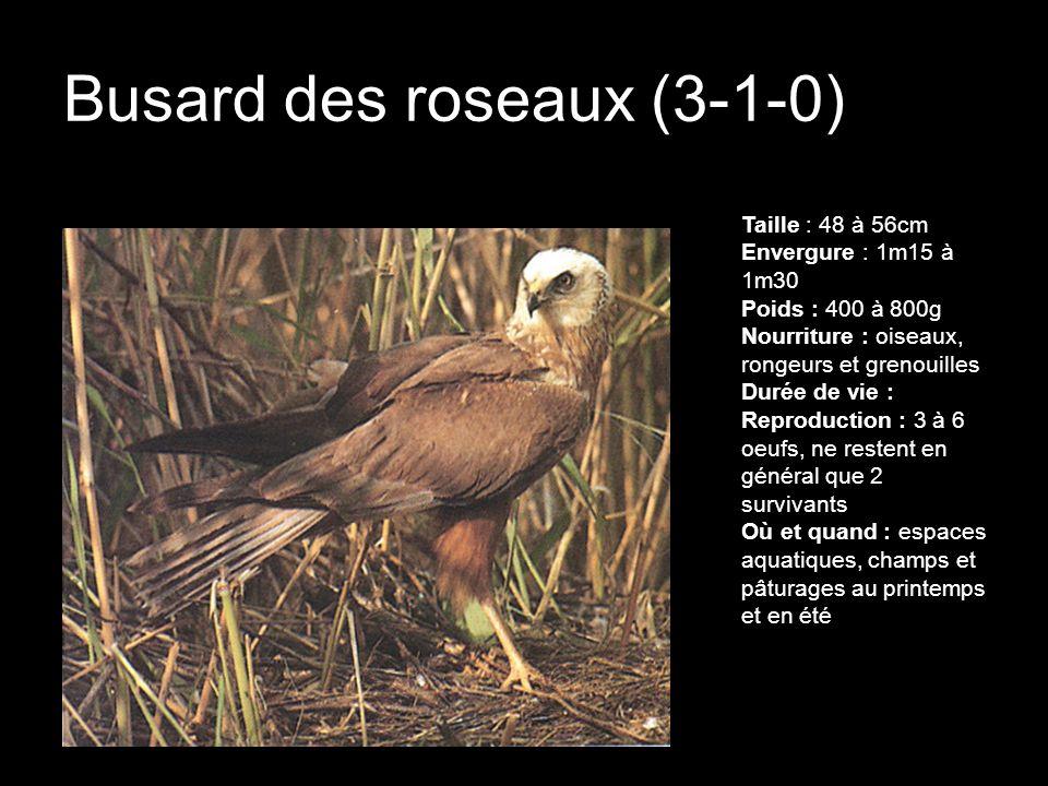 Busard des roseaux (3-1-0) Taille : 48 à 56cm Envergure : 1m15 à 1m30 Poids : 400 à 800g Nourriture : oiseaux, rongeurs et grenouilles Durée de vie :
