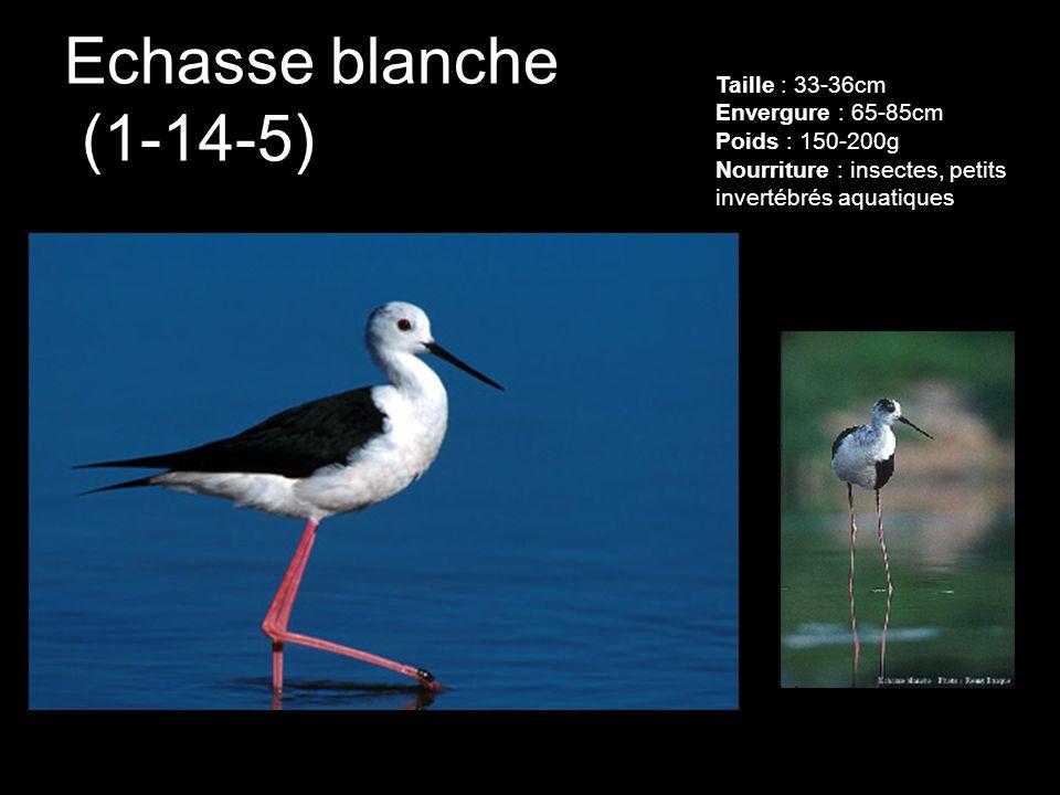 Echasse blanche (1-14-5) Taille : 33-36cm Envergure : 65-85cm Poids : 150-200g Nourriture : insectes, petits invertébrés aquatiques