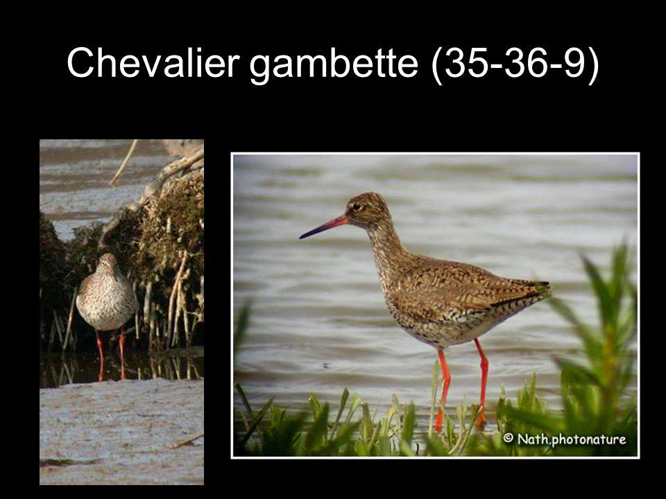 Chevalier gambette (35-36-9)
